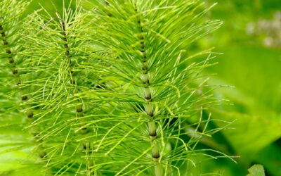 Horsetail – How to weed out the problem